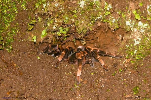 Costa Rican redleg tarantula