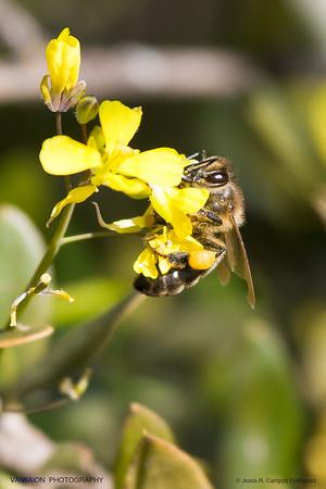 Sucking bee