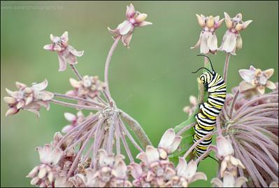 Monarch Caterpillar  Danaus plexippus