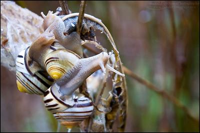Banded Wood Snails Cepaea nemoralis