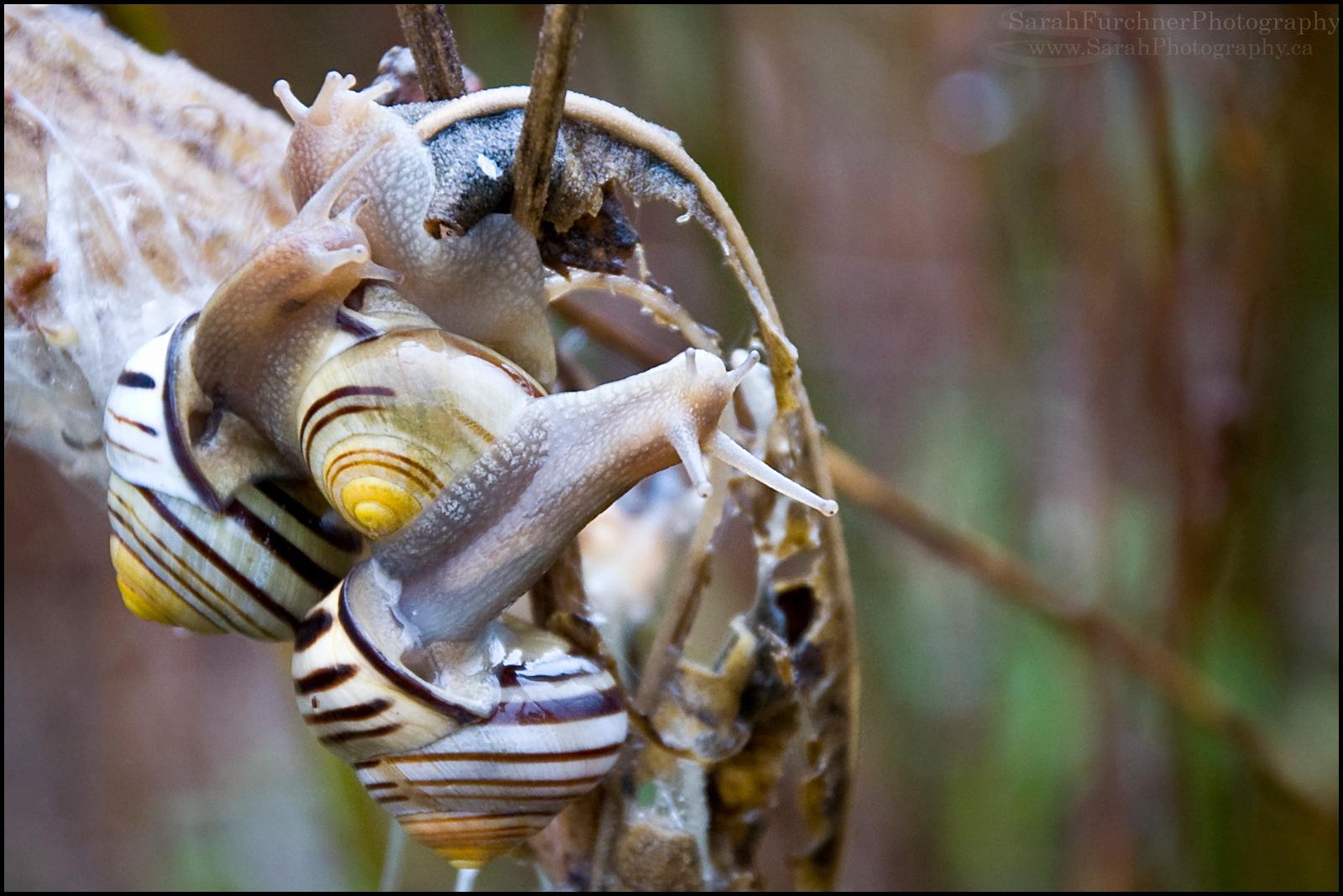 Banded Wood Snails <i>Cepaea nemoralis</i>