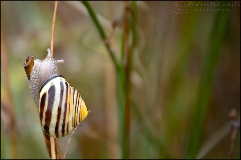 Banded Wood Snail <br /> Cepaea nemoralis<br /> Lake Huron