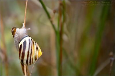 Banded Wood Snail  Cepaea nemoralis Lake Huron