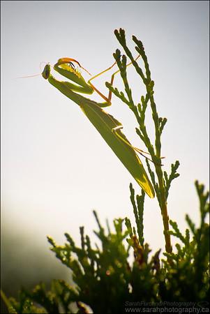 Praying Mantis Mantis religiosa