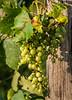 Vineyard in Marzzorbo Island - Venice, Italy