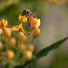 Honey Bee in Yellow