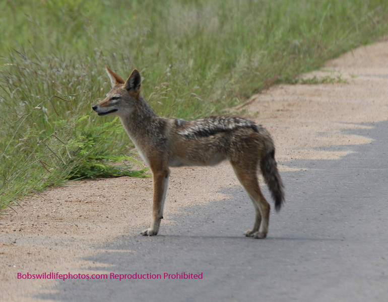 Checking things out before leaving the road. This was in Kruger. You can tell by the paved road. Kruger Park South Africa