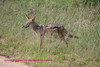 Jackal about to cross the road. Kruger Park South Africa