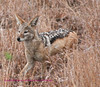 The Jackal also quickly disappears Kruger Park South Africa