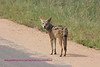Jackal checking me out Kruger Park South Africa