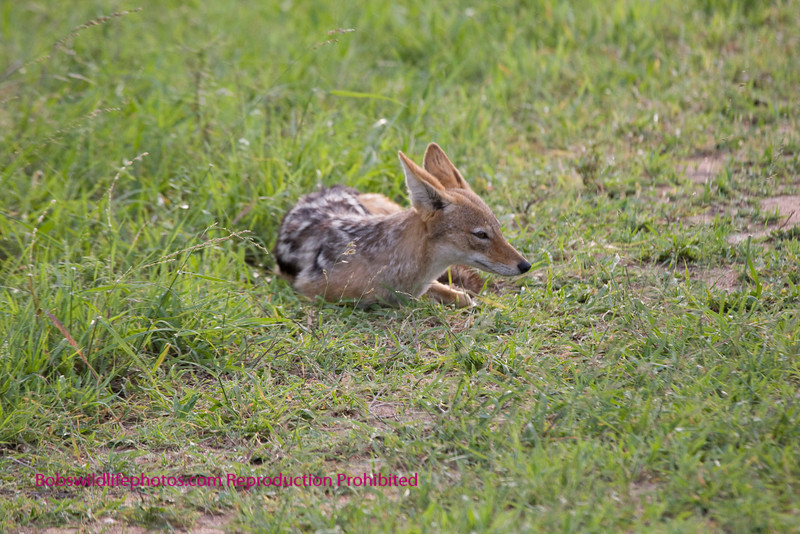 Black-backed jackal taking a rest. Kruger Park South Africa