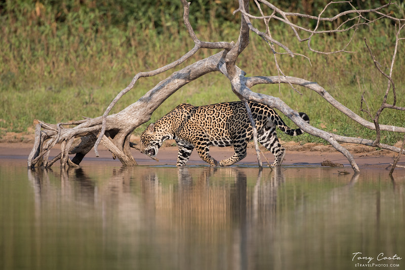 A Jaguar in the Piquiri River