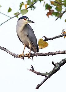 black-crowned night-heron, September on James River, downtown Richmond, VA