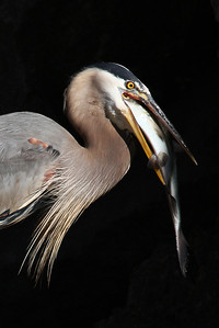 great blue heron eating fresh shad from James River at Pipeline Rapids, downtown Richmond, VA