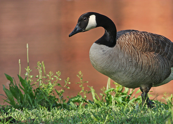 canada goose on bank of Kanawha Canal, downtown Richmond, VA