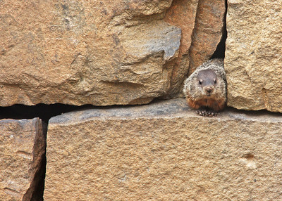 groundhog peeking out from retaining wall near Pipeline Rapids, James River, downtown Richmond, VA