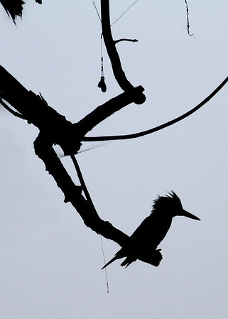 belted kingfisher and fishing gear, taken in August along James River, Richmond, VA