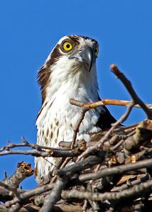 osprey in nest on 14th St railroad bridge, downtown Richmond, VA