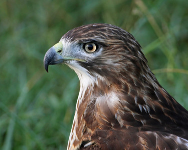 red-tailed hawk, along the Kanawha Canal, Richmond, VA in August