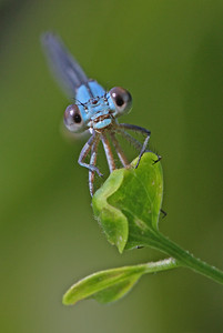 blue damselfly caught by surprise on bank of James River, downtown Richmond, VA