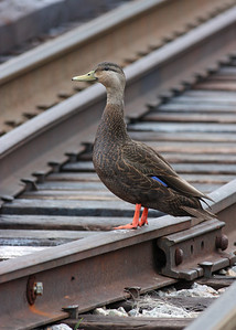 black duck on 14th St railroad bridge, downtown Richmond, VA
