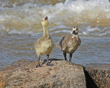canada goose goslings in Pipeline Rapids of James River, downtown Richmond, VA