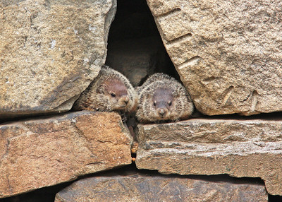 groundhog pair in retaining wall near Pipeline Rapids, James River, downtown Richmond, VA