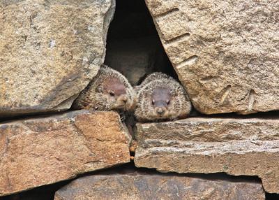 groundhog pair in retaining wall near Pipeline Rapids, James River, downtown Richmond, VA