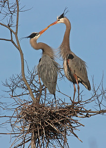great blue herons mating at rookery, James River, downtown Richmond, VA