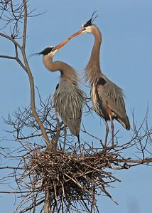 great blue herons mating at rookery, James River, downtown Richmond, VA