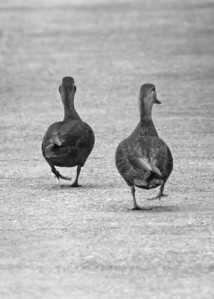 black duck pair on railroad bridge platform, downtown Richmond, VA