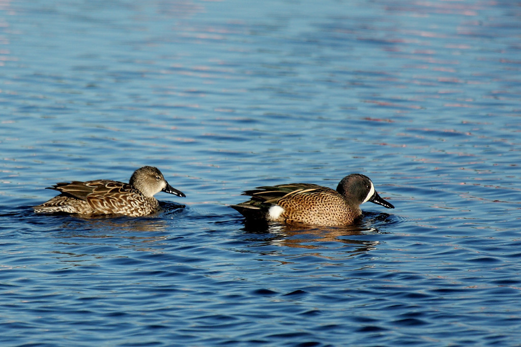 A female and male Blue-winged Teal, again at the Merritt Island National Wildlife Refuge.