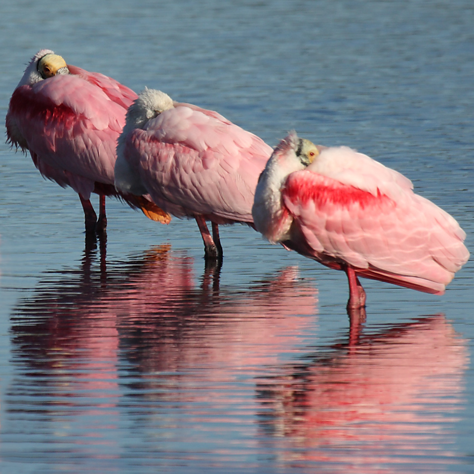These are three Roseate Spoonbills at the Merritt Island National Wildlife Refuge. It was a cold morning with a stiff north wind, so they're stuffing their beaks under their wings to keep their beak and face warm.