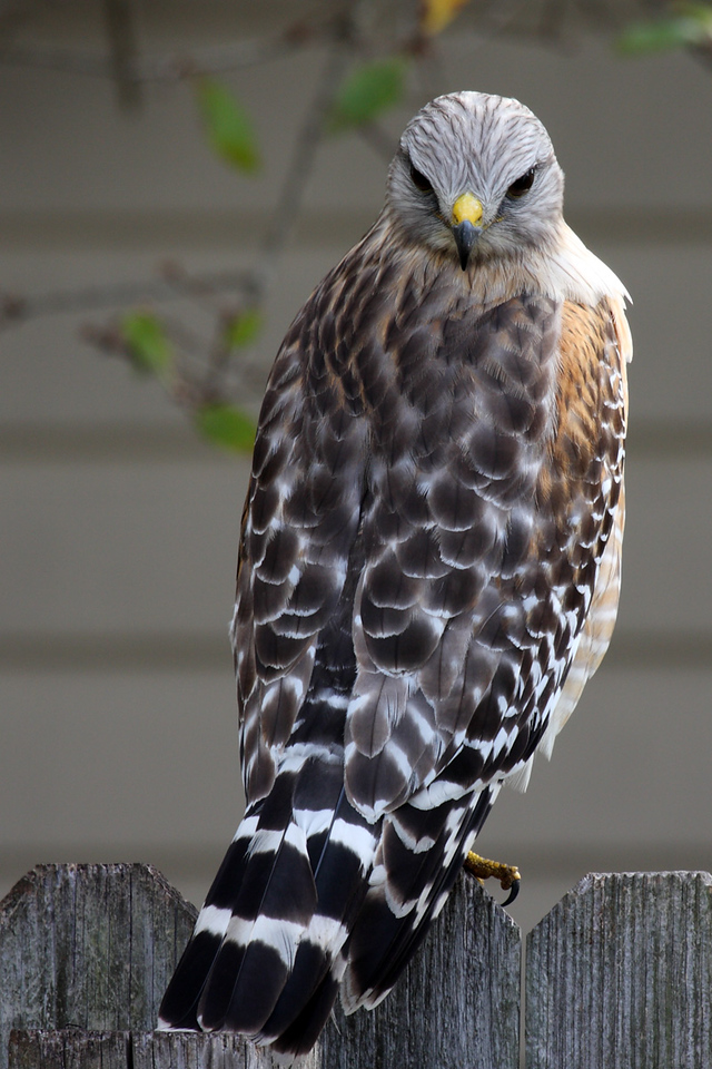 This Red-shouldered Hawk was sitting on our side fence in our backyard. I think he was looking for a squirrel to grab from our neighbor's live oak tree. (Go, Hawkie!) He was turning his head about 175 degrees to the right to watch me take his photo from our patio.