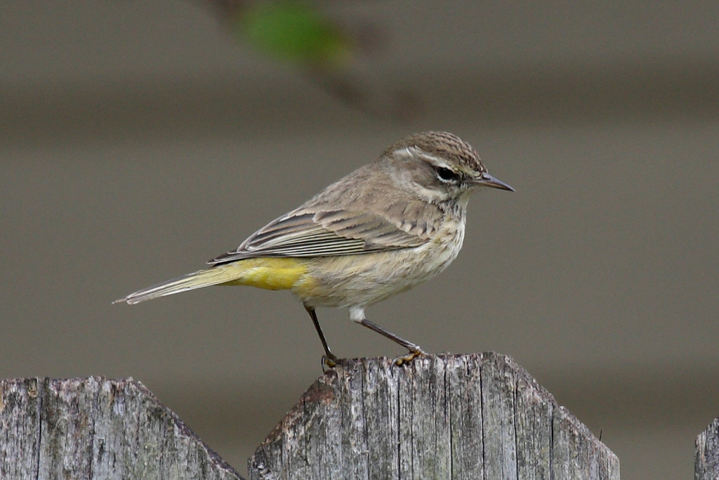 This is what I think is a Palm Warbler sitting on our side fence in Melbourne, FL. He's just a little guy, but with pretty markings. This may be superfluous as I've never seen an ugly bird.