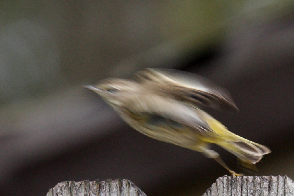 Superman takes off! Actually, this is the Palm Warbler again, but launching himself into flight. Yes, it's blurry, but I think this is a cool photo as he stretches his wings to catch the air while he's still hanging onto the fence with one foot. Cool!