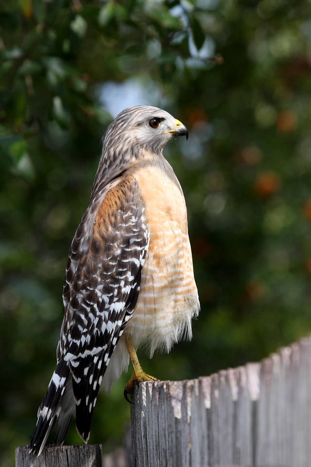 The Red-shouldered Hawk intently staring at something that he may be seeing on the menu.