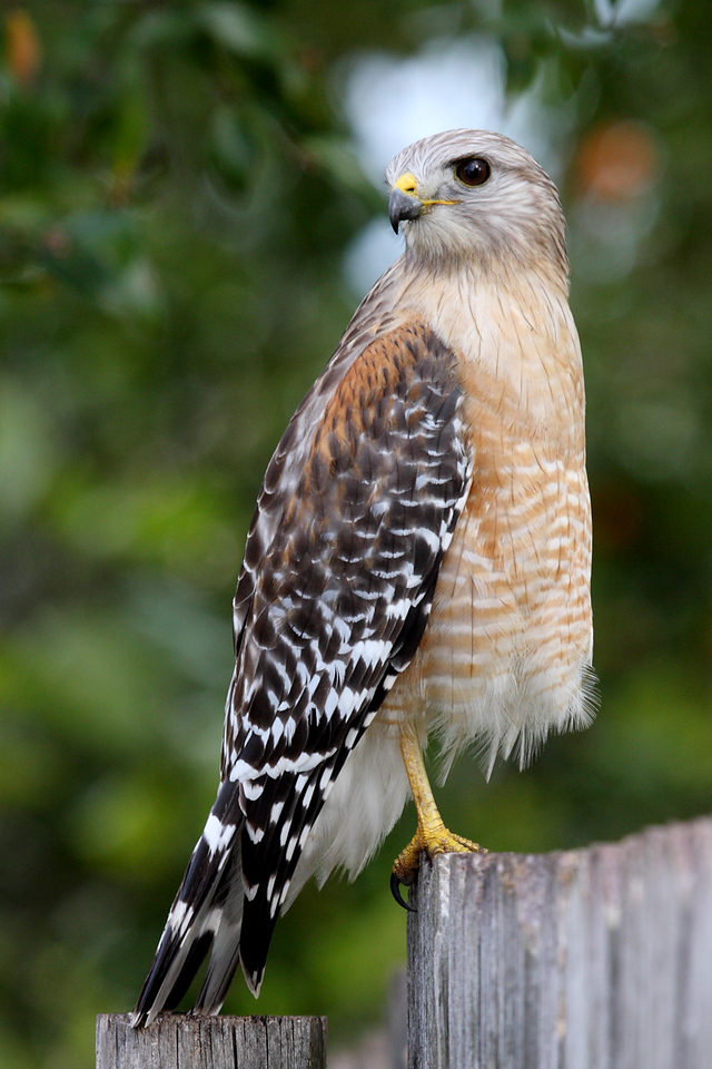 This is the same hawk in the same position. I just moved to a different place so I could have a better view of him. I love the various feather patterns on him, from the gray striped head to the red shoulders, the mottled wings, and the barred belly.