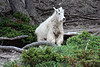 Mountain goat, off Hwy. 16.