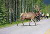 Elk X-ing.