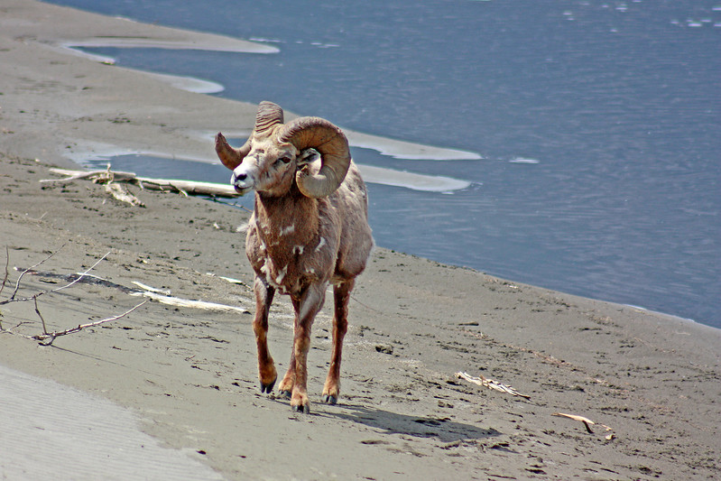 Bighorn sheep on the shores of Jasper lake.
