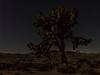 Joshua Tree in the Moonlight