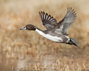 northern pintail drake in flight, December in Bosque del Apache, NM