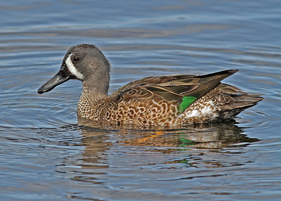 blue-winged teal, December in Merritt Island National Wildlife Refuge, FL