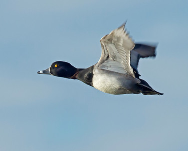 ring-necked drake in flight, Chester, VA