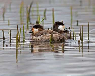 ruddy duck pair, Dutch Gap, Chester, VA in March