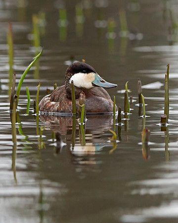 ruddy duck male, Dutch Gap, Chester, VA in March
