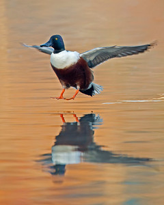 northern shoveler landing, December in Midlothian, VA