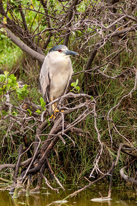 Black-crowned Night Heron. Hawaiian name: Aukuu