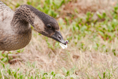 Juvenile Nene trying to eat trash it found in the grass.